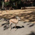 Gazelle Zoo Barcelona