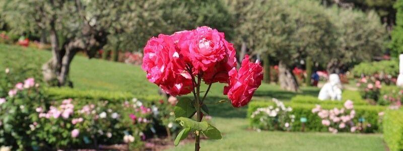 roses jardin Cervantes