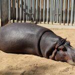Flusspferd Zoo Barcelona