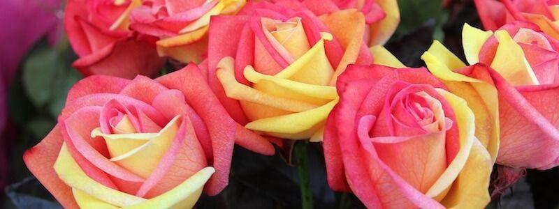 Rosen Sant Jordi