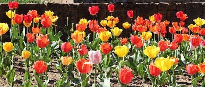 Blumen Mossèn Cinto Verdaguer