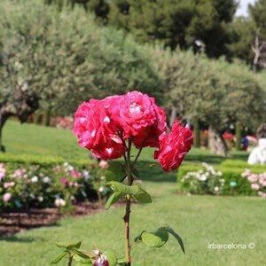 Internationaler Wettbewerb der Rosenneuheiten